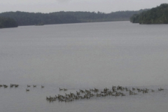 geese-penny-nault